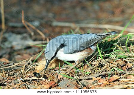 The Eurasian nuthatch