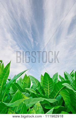Green Tobacco Field With Blue Sky Background.