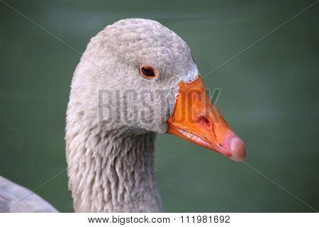goose macro ,