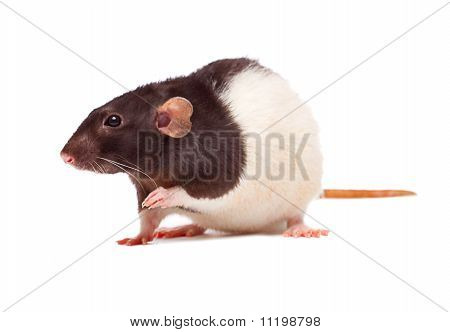 Nice Domestic Rat