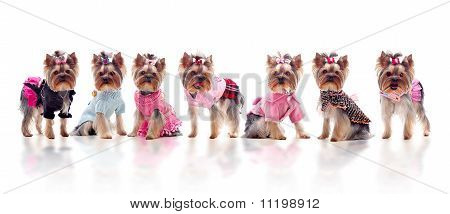Group Of Cute Dressed Yorkshire Terriers