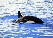 Picture of a killer whale in the water poster