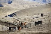 cattle in california foothills of southern sierra nevada head for home poster