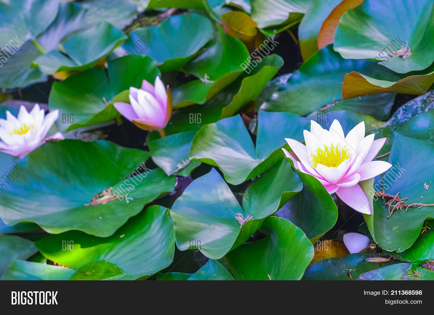 Tender pink water lilies detailed image photo bigstock tender pink water lilies detailed view close up beautiful lotus flowers in the pond izmirmasajfo