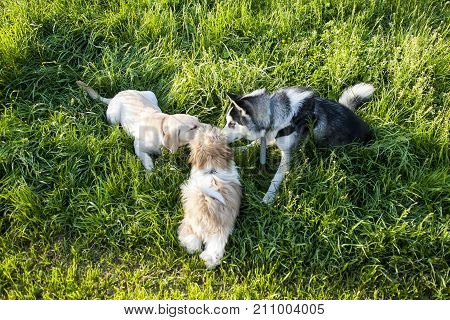 Three dogs smelling each other in a green meadow.