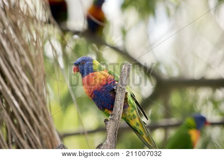 the rainbow lorikeet is perched on a branch