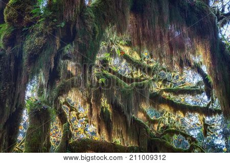 Close up view of moss on tree branches in Hoh Rainforest at Olympic national Park, Washington, USA