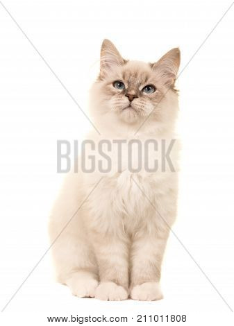 Cute birman kitten cat sitting looking up isolated on a white background