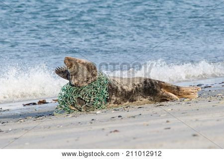 Grey seal lying on the beach trapped in a fisherman's net