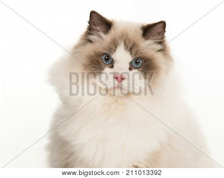 Pretty adult rag doll cat with blue eyes portrait looking at camera on a white background