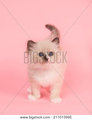 Cute rag doll kitten baby cat standing looking up on a pink background