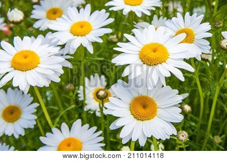 White Daisy Summer nature background. Blooming chamomiles field at sunshine.  Beautiful White daisies in the garden (Bellis perennis). Flowerbed in park.