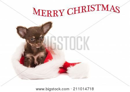 Cute brown chihuahua dog puppy sitting in santa's hat isolated on a white background with text merry christmas