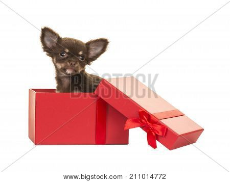 Cute brown chihuahua puppy dog sitting in a red present box isolated on a white background