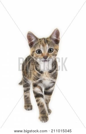 Cute tabby smiling cat walking towards the camera isolated on a white background