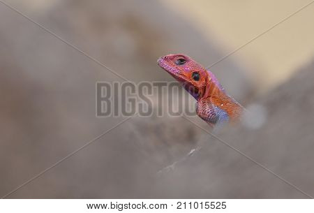 Portrait of a red headed rock agama between grey stones