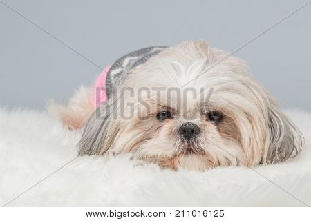 Lazy shih-tzu dog lying down at a grey background