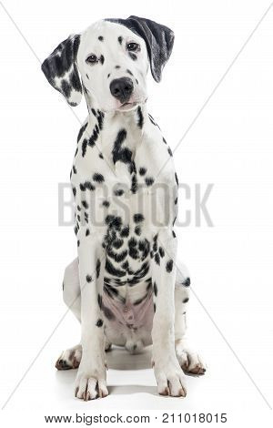 Sitting adult black and white dalmatian dog isolated on a white background