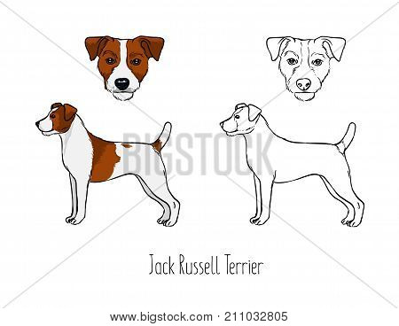 Collection of colored and monochrome contour line drawings of head and full body of Jack Russel Terrier, front and side views. Small hunting dog, active pet animal. Zoological vector illustration