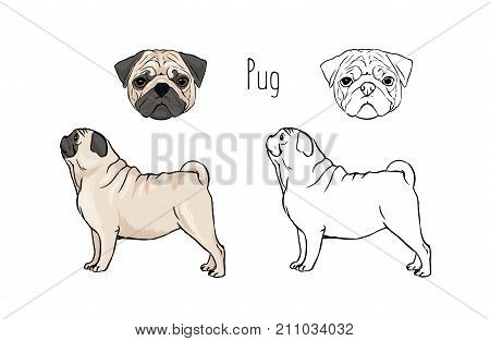 Bundle of colorful and monochrome outline drawings of face and full body of fawn Pug, front and side views. Small companion dog, lapdog, funny playful pet animal. Zoological vector illustration