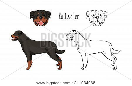 Collection of colorful and monochrome line drawings of head and full body of Rottweiler, front and side views. Powerful guard dog of gorgeous short-haired breed. Zoological vector illustration