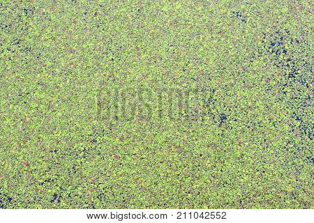 Green duckweed on water surface close-up as background