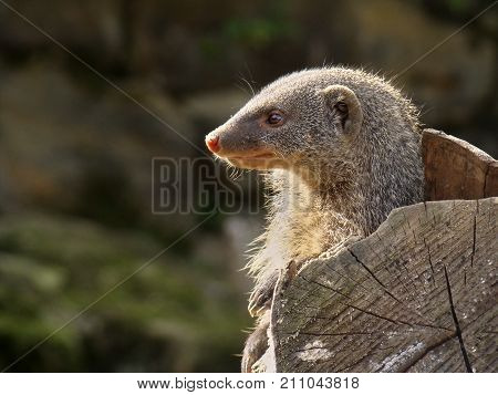 Close-up of a mongooses. The head is in the profile to see. The mongooses look to the left side. To the left there is a free space for text