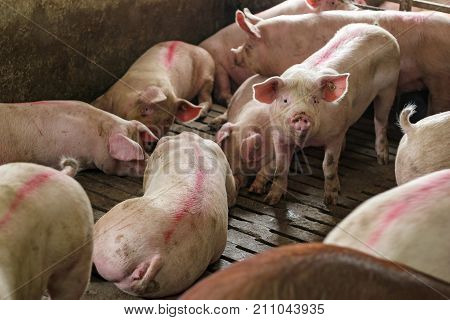 Pigs in a Pigpen. Large pen of young white pigs. Pig Farming. Intensively farmed pigs in batch pens.
