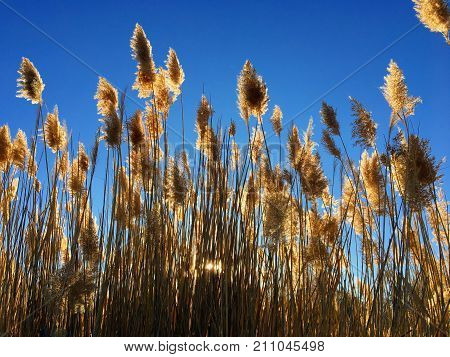 Tall pampas (Cortaderia) grass in a field on the background of the setting sun and blue sky. Bright Sunny summer photo. Golden ears of grass swaying in the wind backlit in the sun in Magna, Wasatch Front, Rocky Mountains, Utah, USA