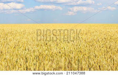Endless wheat field receding into the distance beyond the horizon