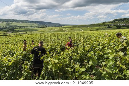 Tincourt France - June 9 2017: Workers in the vineyard in Tincourt near Epernay in the Champagne district Vallee de la Marne in France.