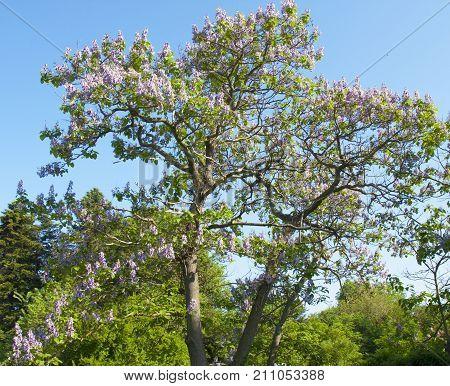 Empress tree or princess tree, or foxglove tree, latin name Paulownia tomentosa, recorded in Saint Konstantin and Helen resort, Bulgaria.
