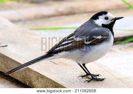 Wagtail. A delightful small, long-tailed and rather sprightly black and white bird.