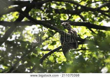 The long-eared owl (Asio otus) also known as the northern long-eared owl in the forest. Wildlife photography