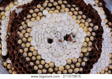 Wasp nest polist. The nest of a family of wasps