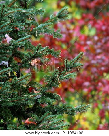 Evergreen Colorado Blue Spruce tree in foreground with Japanese Red Maple tree blurred in background; shot during autumn/fall, but also contains holiday/Christmas colors. Fallen leaves/pine needles in branches of spruce in foreground.