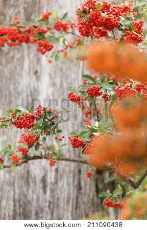 Sorbus Is A Subgenus Of Sorbus Belonging