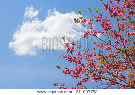 Delicate blossoming tree in spring against blue sky with cloud. Dogwood tree with pink blooms on sky background.
