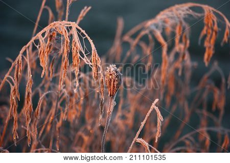 The dry flower of a wild plant and grass runaways are covered by hoarfrost.