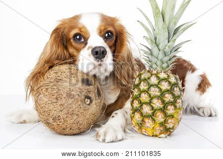 Can dogs eat fruit illustration. Tropical fruit and cavalier king charles spaniel dog. Dog with fruit food. Dog health care. Cute.