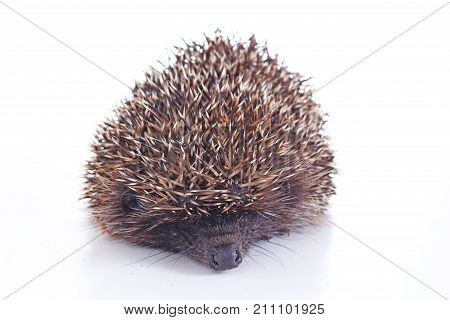 Cute wild hedgehog. Hedgehog closeup. hedgehog spike spikes quills as texture background. Hedgehog is any of the spiny mammals of the subfamily Erinaceinae, in the eulipotyphlan family Erinaceidae. Cute.