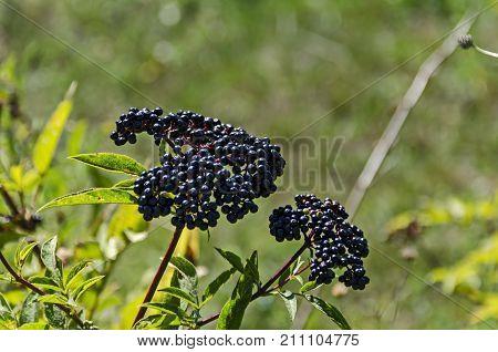 Fructus ebuli of Danewort thicket, poisonous bush or Sambucus ebulus, Zavet town, Bulgaria