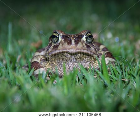An endangered Western Leopard Toad on grass at night, Cape Town, South Africa