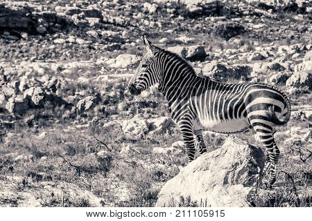 An alert Cape Mountain Zebra stares into the distance at Cape Point, South Africa.