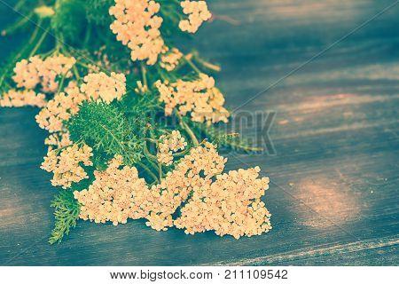 Yarrow flowers on dark wooden background. Vintage toned