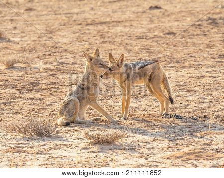 A pair of Black-Backed Jackals in the Kgalagadi Transfrontier Park situated in the Kalahari Desert which straddles South Africa and Botswana.