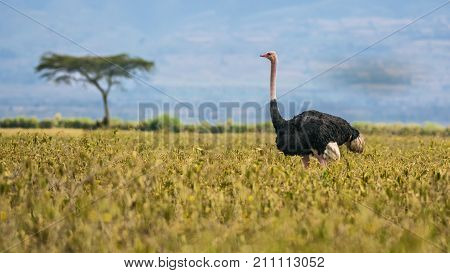 Ostrich also known as Struthio camelus walking in Lake Nakuru National Park, Kenya, Africa.