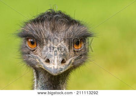Portrait of Australian Emu also known as Dromaius novaehollandiae.
