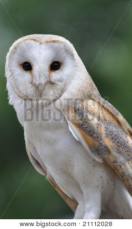 Profile of Barn Owl in English Countryside poster