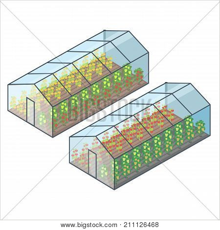 Big transparent greenhouse with tomatoes and bell pepper of several sorts planted in long beds isolated vector illustrations on white background.